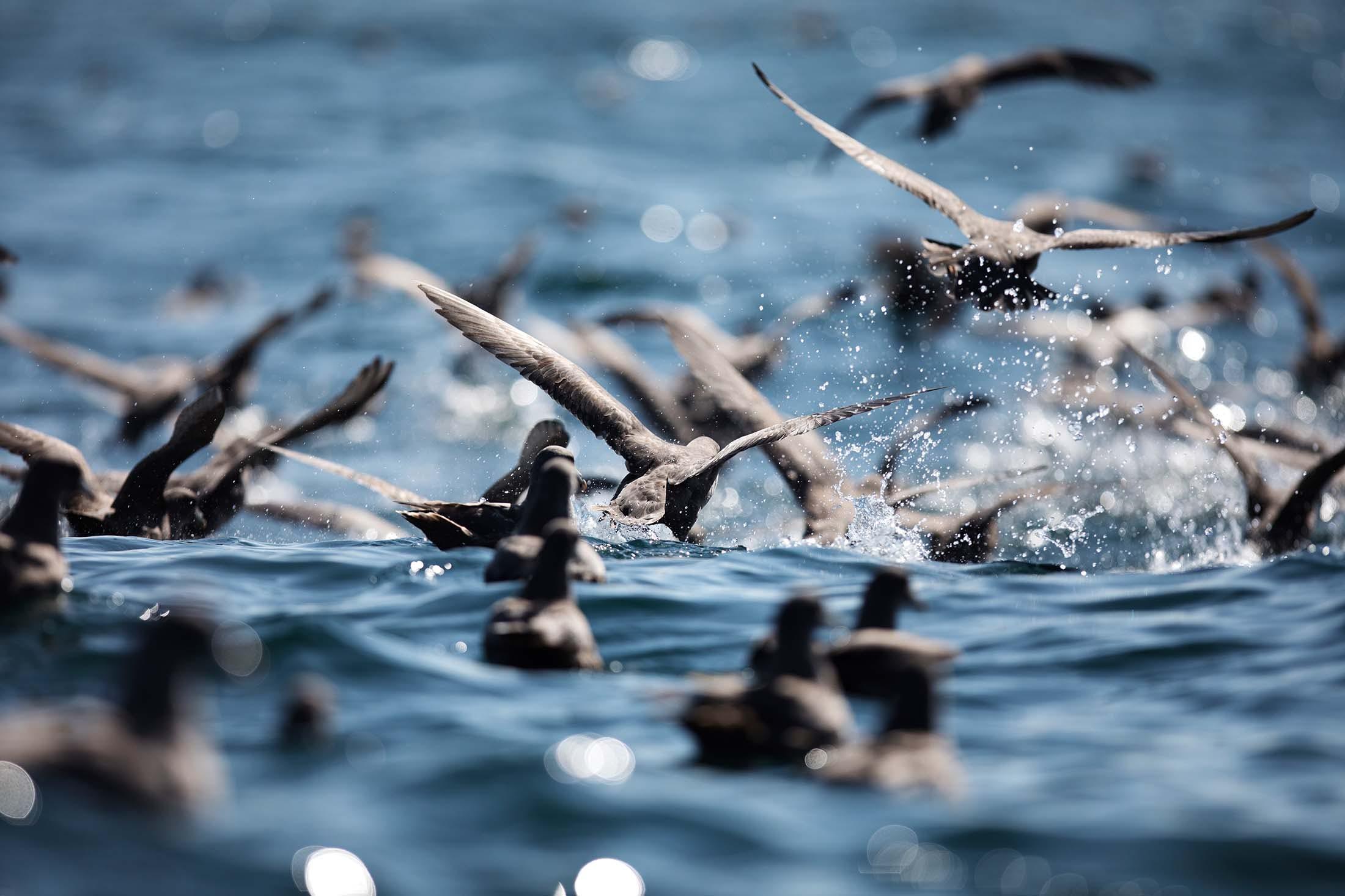 Northern Fulmars on the sea surface, near Iony Island in the Sea Of Okhotsk