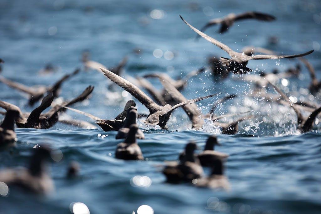 Russian Far East birding opportunities include observing Northern Fulmars near Iony Island