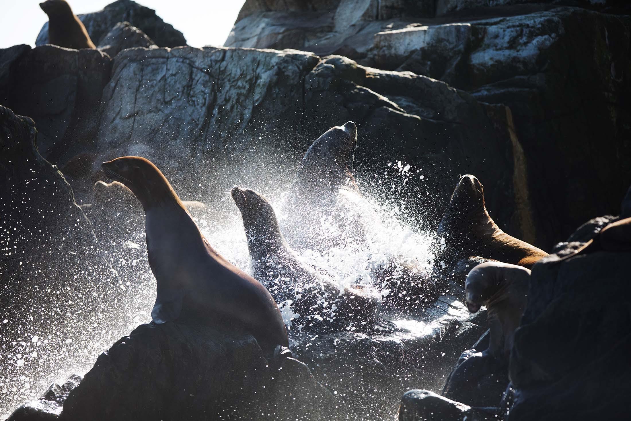 Stellar sea lions in the surf, Iony Island, Russian Far East/Lucia Griggi