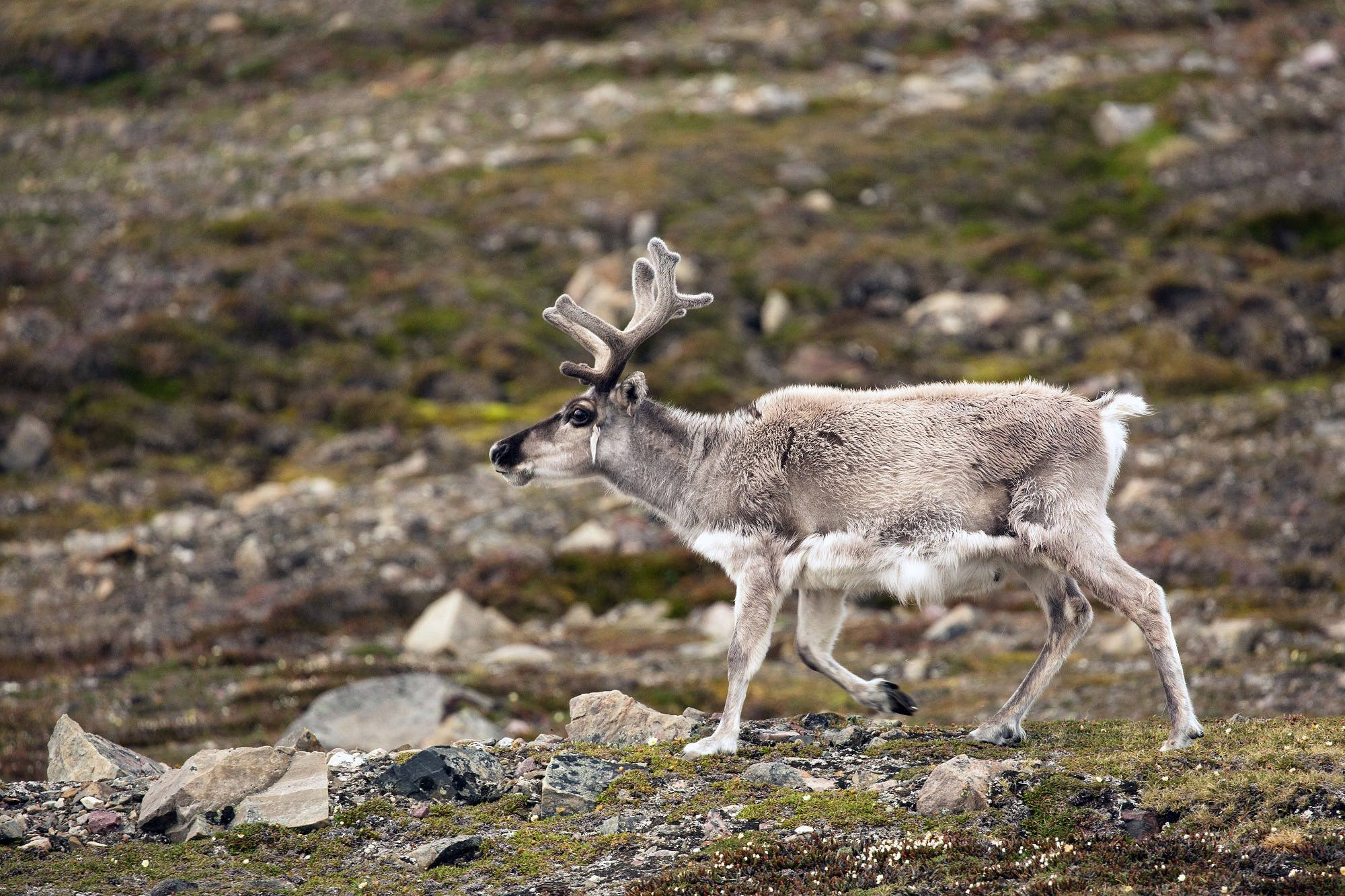 Reindeer in Eveny culture, Russian Far East