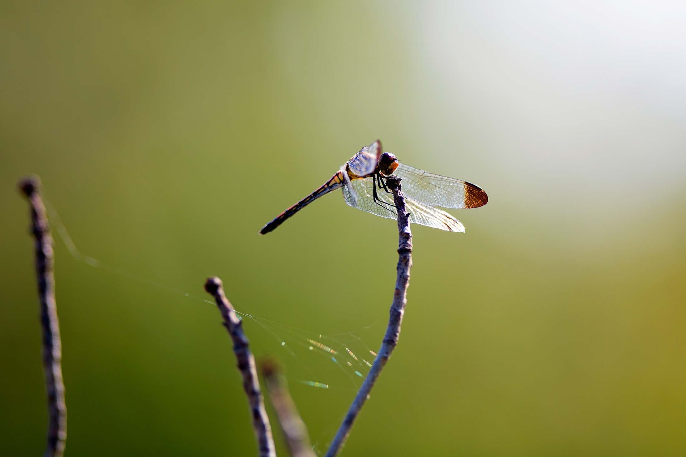 Dragonflies in Japan's Imagination - Discover by Silversea
