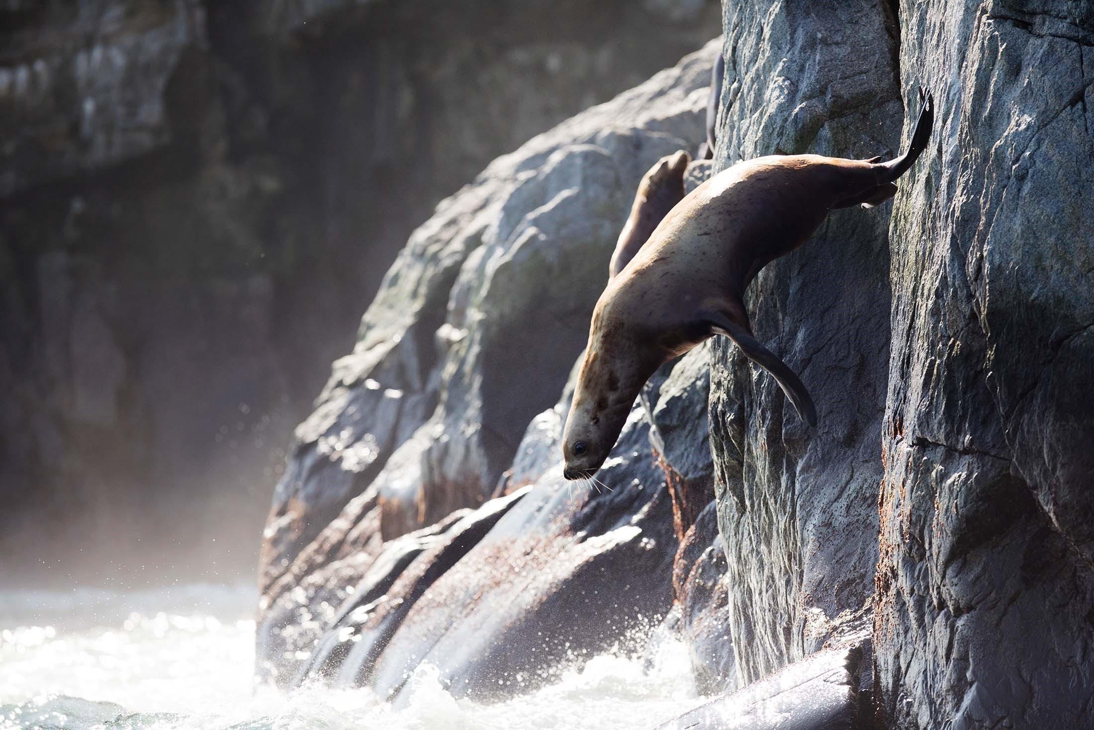 Sea Lion - Iony Island