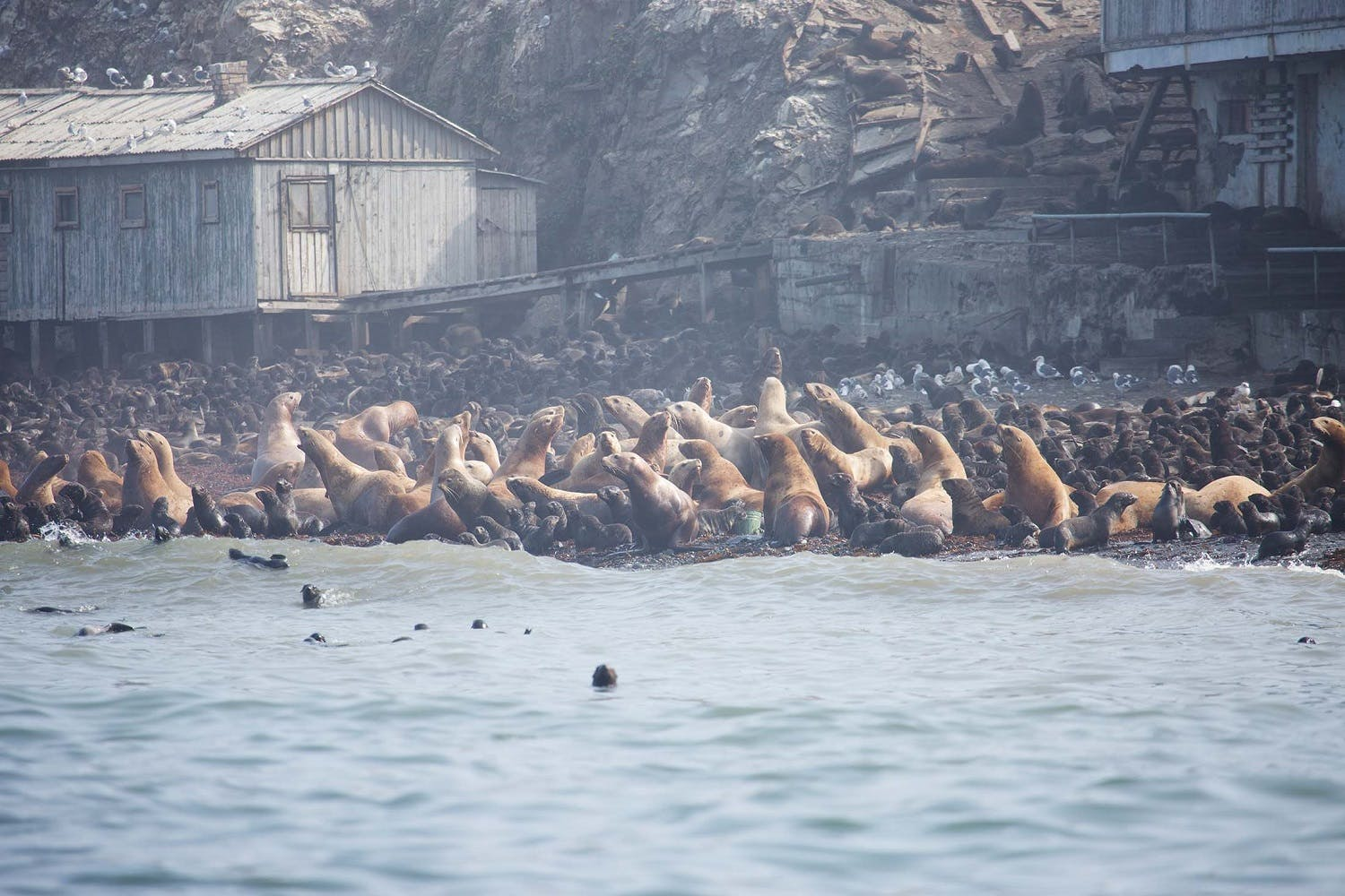 Fur seals in Tyuleniy Island in the Russian Far East