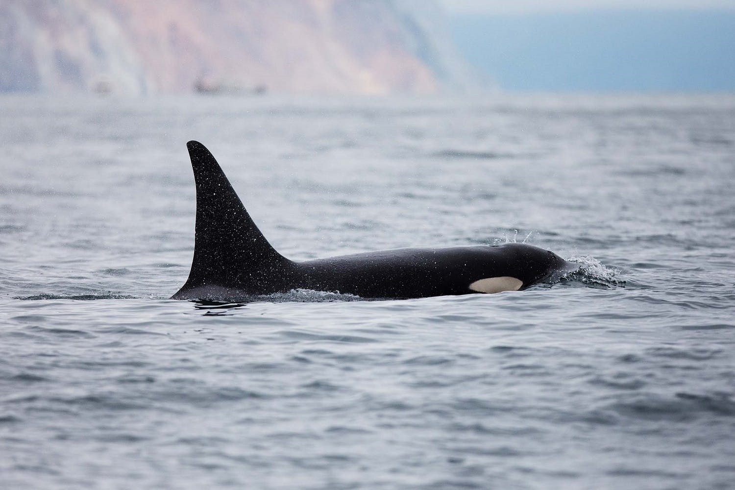 Orcas in the wild - Kekurnyy Bay, Russian Far East