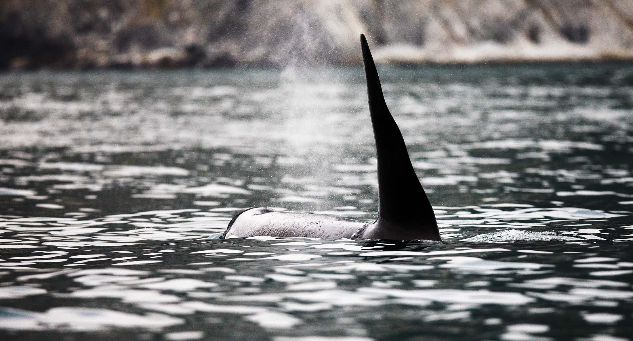 Killer whales in the Russian Far East