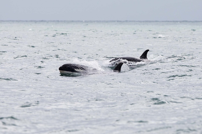 killer whale pod in the Russian Far East
