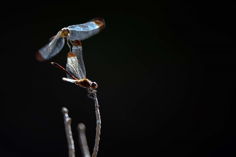 Dragonflies in Japan