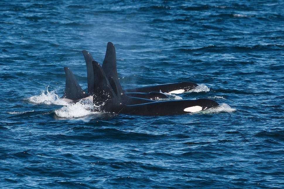 silversea-northeast-crossing-killer-whales