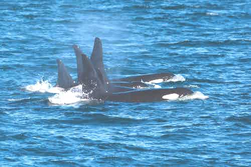 silversea-northeast-crossing-killer-whales