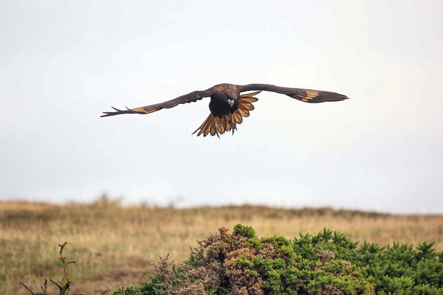 The striated caracara's wingspan makes it quite the aerial acrobat.