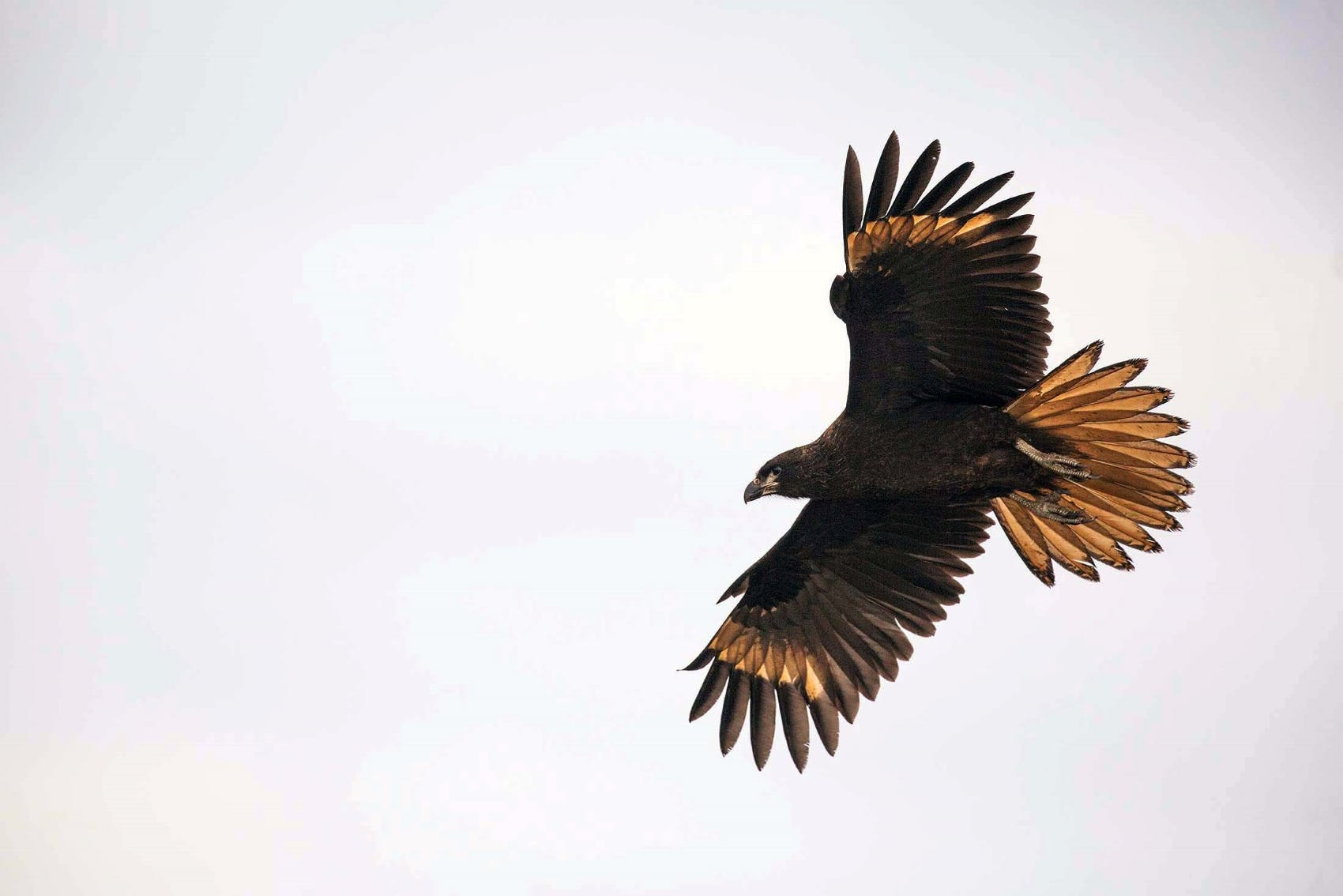 A Striated Caracara's wingspan on full display.