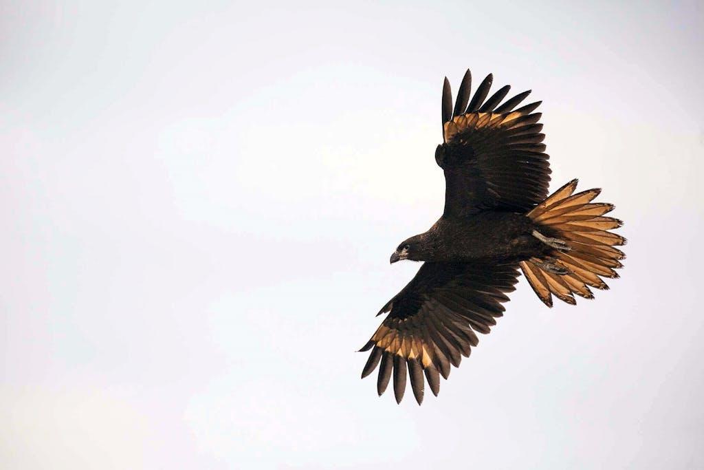 A Striated Caracara's wingspan on full display.