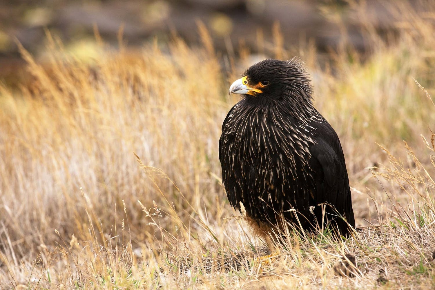 In the ecosystem of Falklands wildlife, Striated Caracaras are opportunistic scavengers.