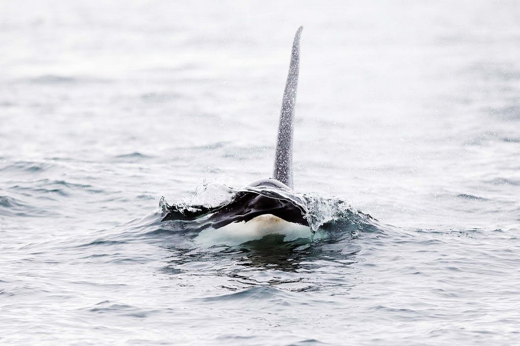 killer whales in Northern Europe