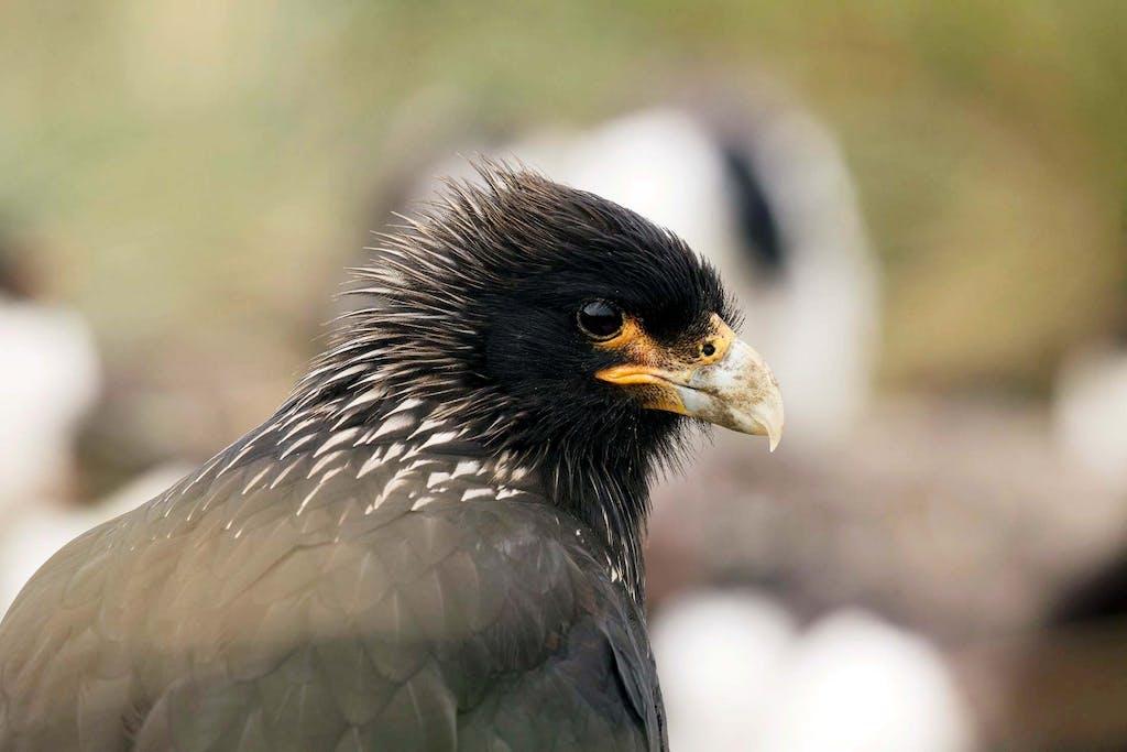 The caracara is a highlight of a Falkland Islands bird watching expedition.