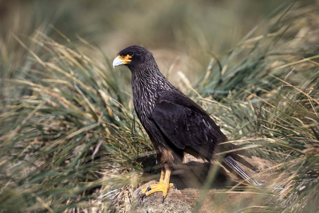 Why is the Striated Caracara called Johnny Rook?