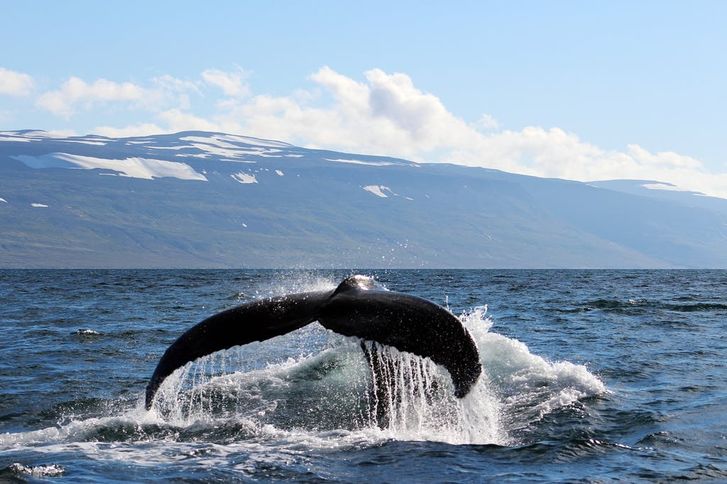 Humpback whales in Northern Europe