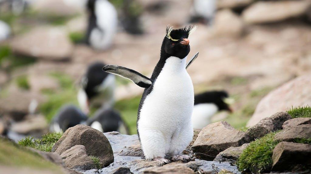 Saunders Island wildlife - rockhopper penguins