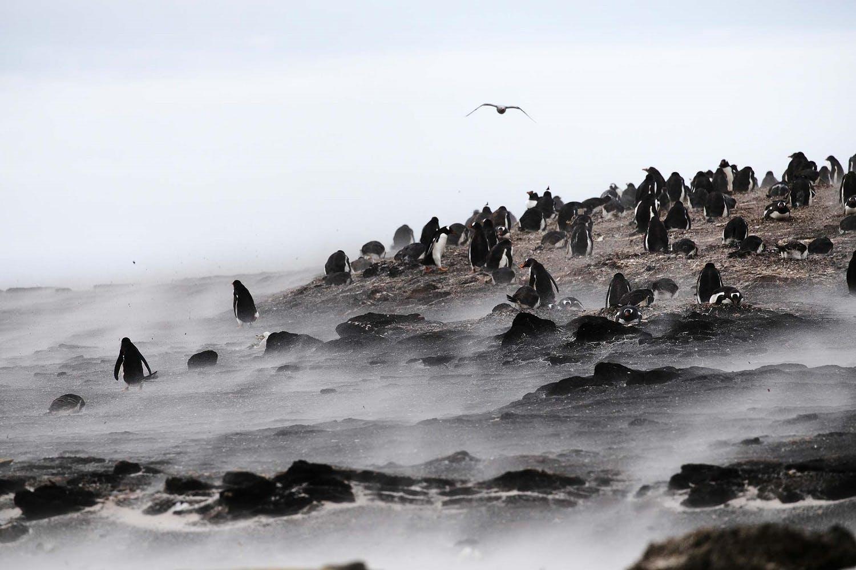 Penguins on Saunders Island