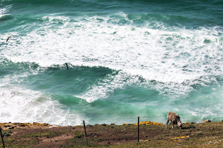 Saunders Island wildlife - sheep