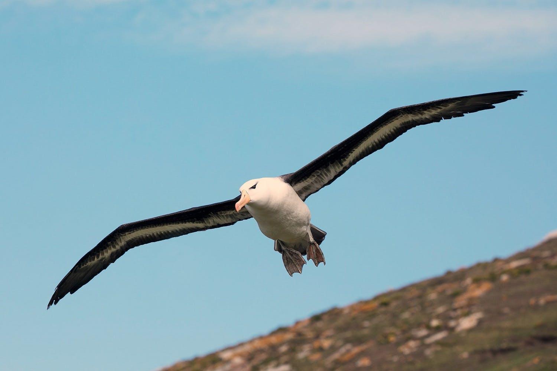 Saunders Island albatross