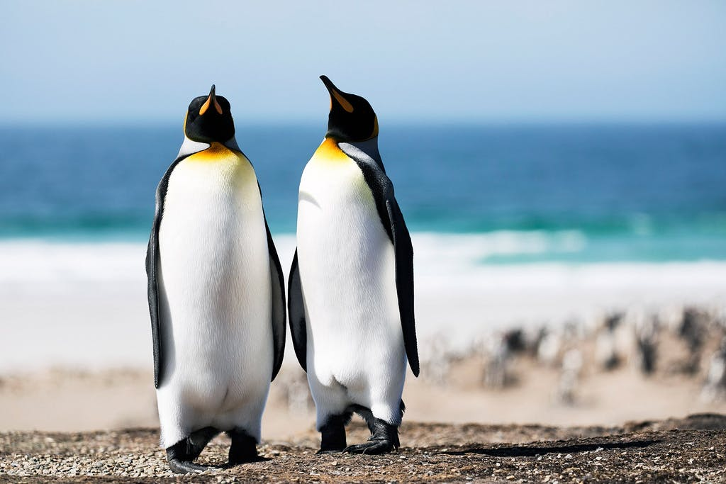 Saunders Island king penguins