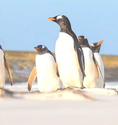 silversea-antarctica-cruise-gentoo-penguins-sand-dunes