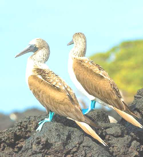 1-baltra-silversea-galapagos-cruise-blue-footed-booby2