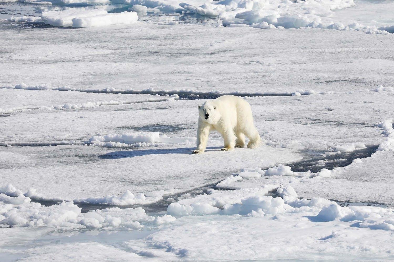 polar bear - arctic