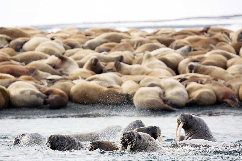 walrus - arctic