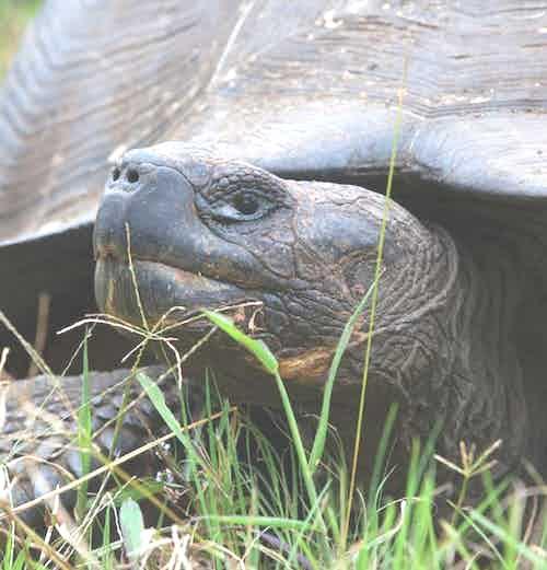 9-galapaguera-silversea-galapagos-cruise-giant-turtle