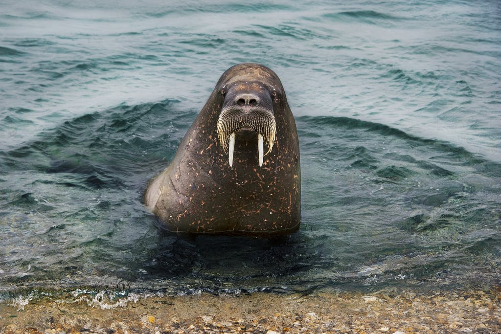 walrus in Svalbard by Steve McCurry