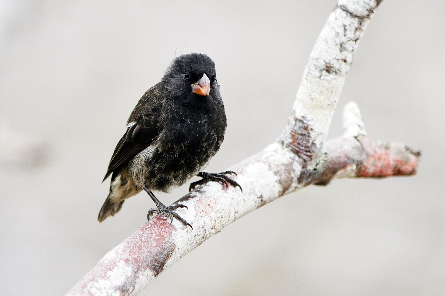 Darwin's finches in the Galapagos
