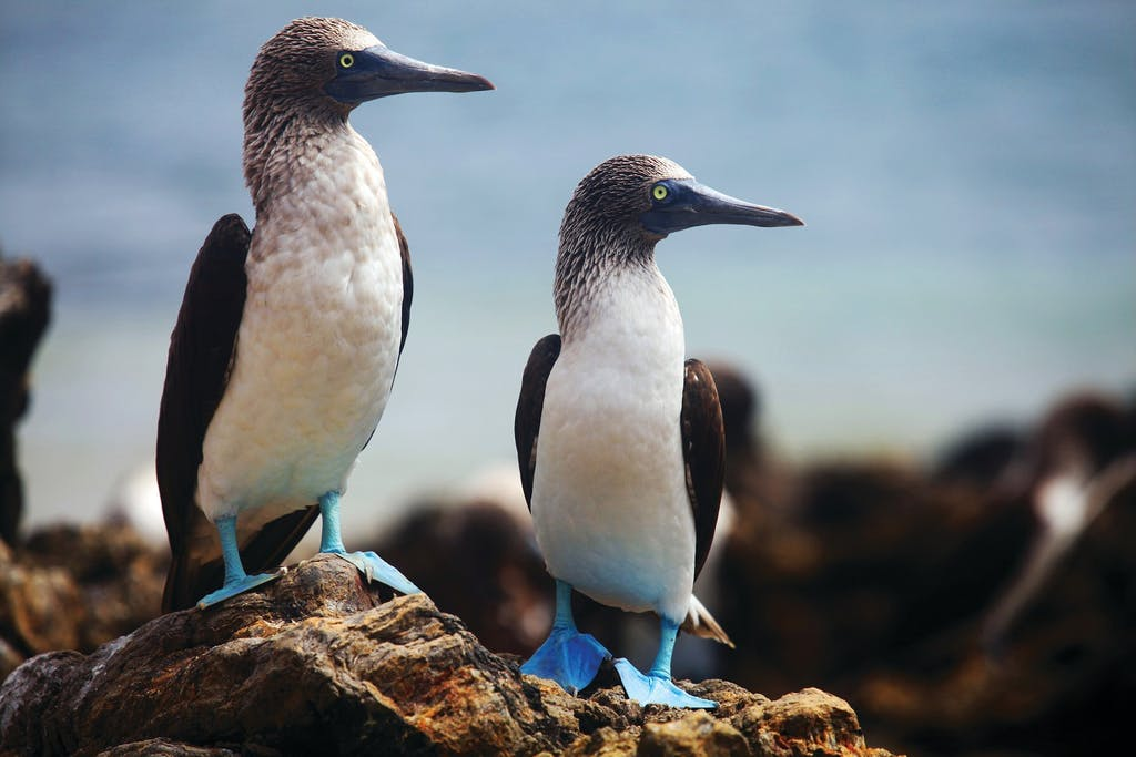 Blue-footed Boobies in the Galapagos