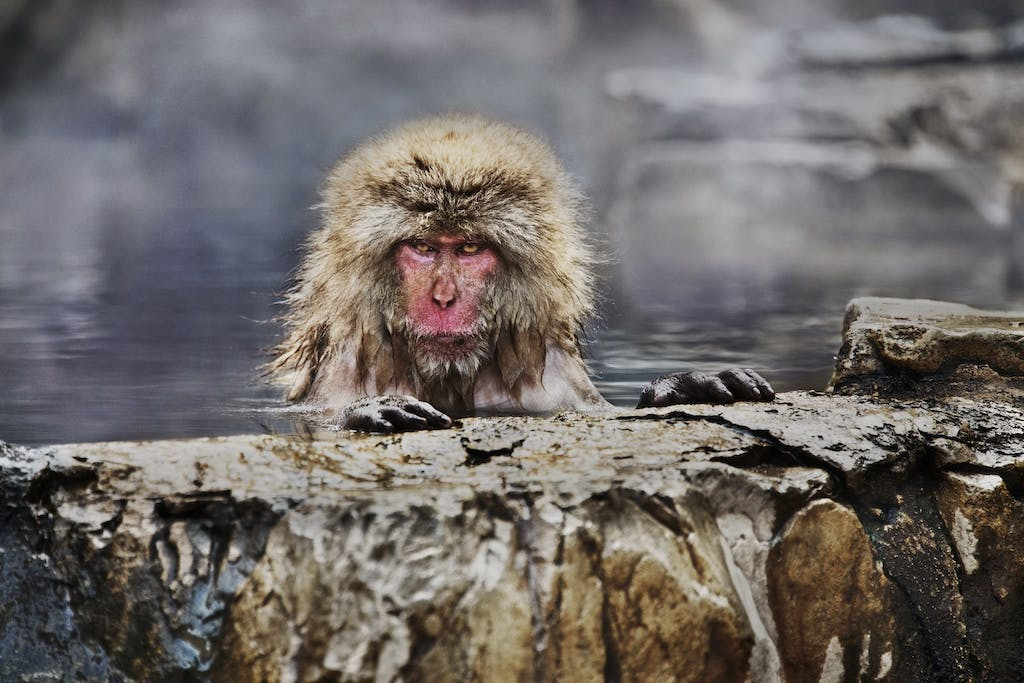 maqaque in Japan by Steve McCurry