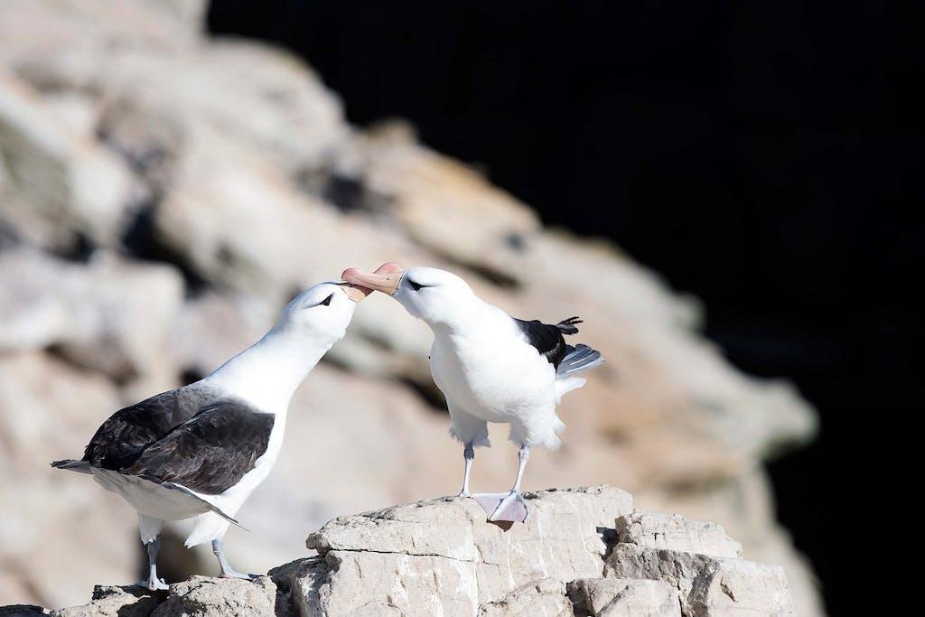 Falkland Island birds