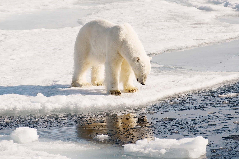 Polar bear - Arctic cruise