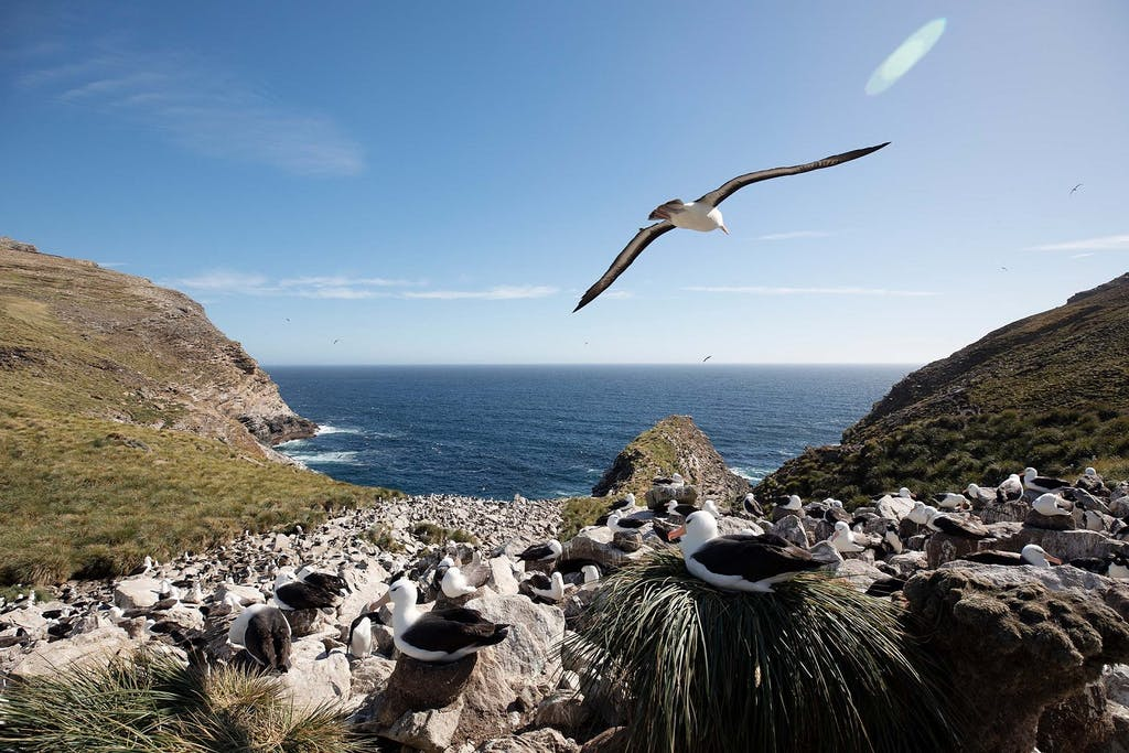 Black-browed Albatross in West Point, the Falklands