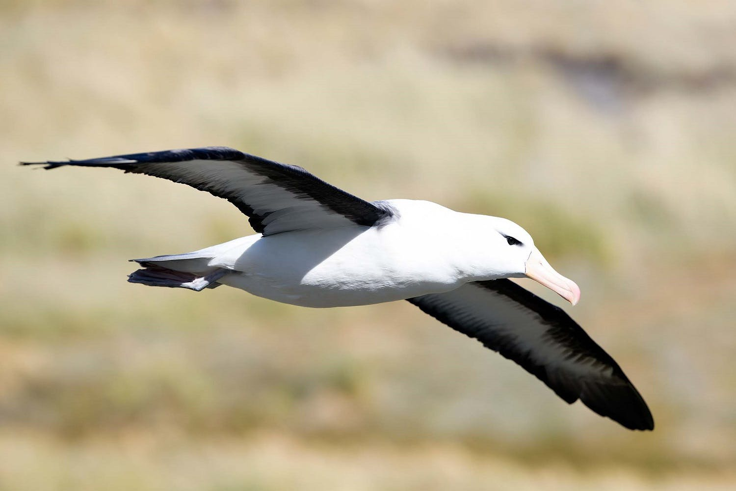 Wingspan of the Black-browed Albatross
