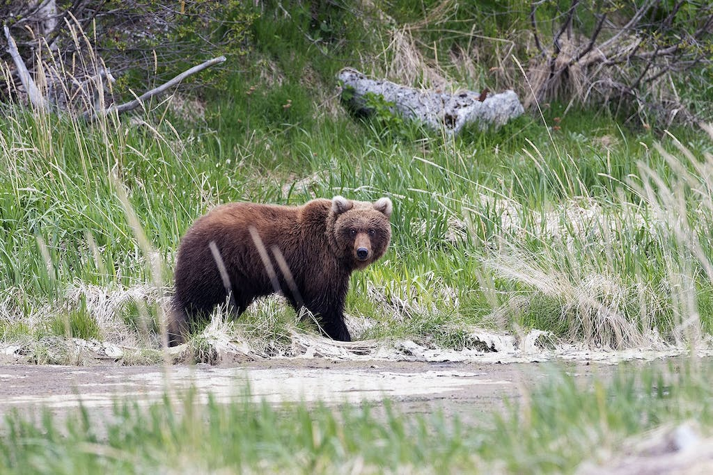 Brown bear sightings are frequent in Denali