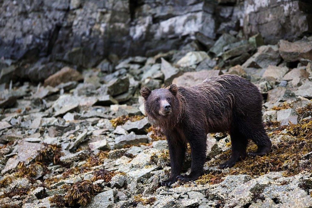 bear spotting in Alaska