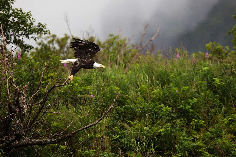 bald eagle hunting salmon
