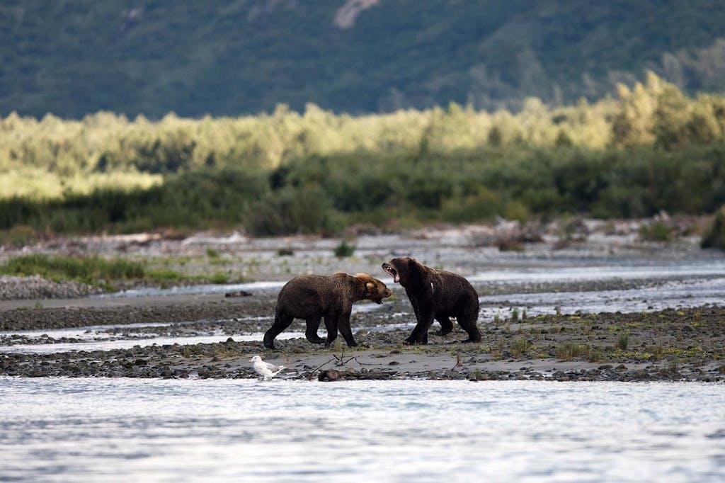 bear activity in Alaska