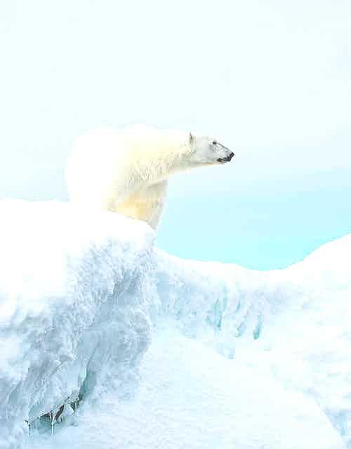 Polar Bear, Storøya, Svalbard Archipelago