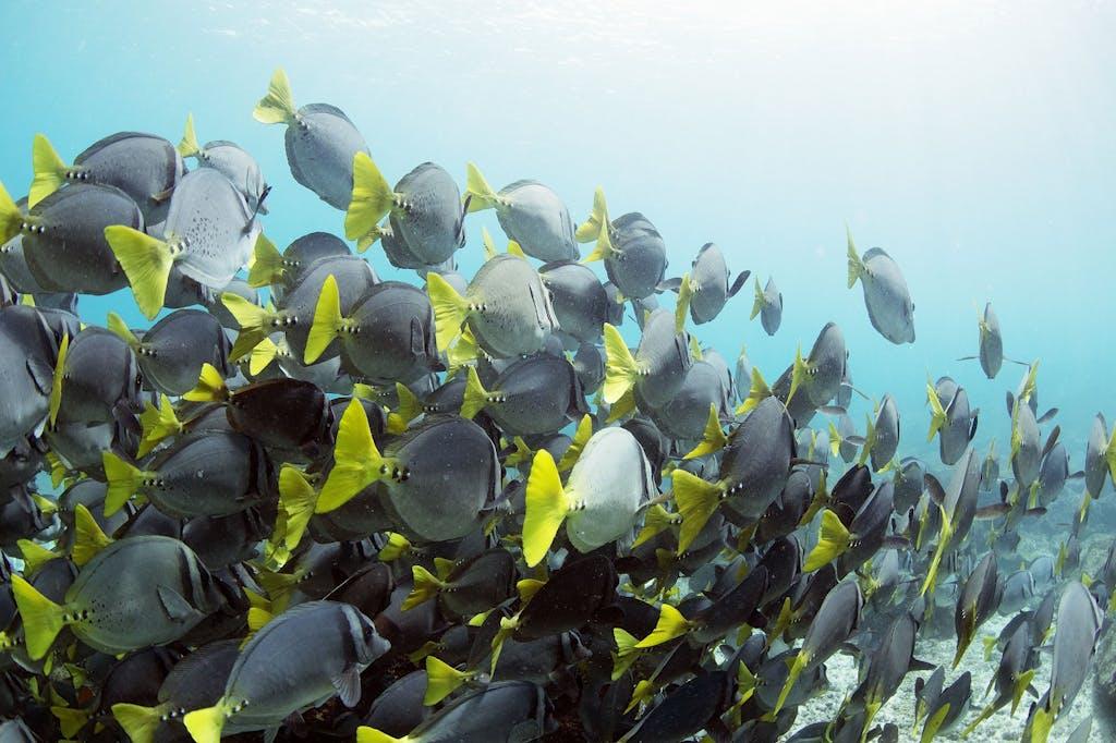 yellowtail surgeonfish in the galapagos