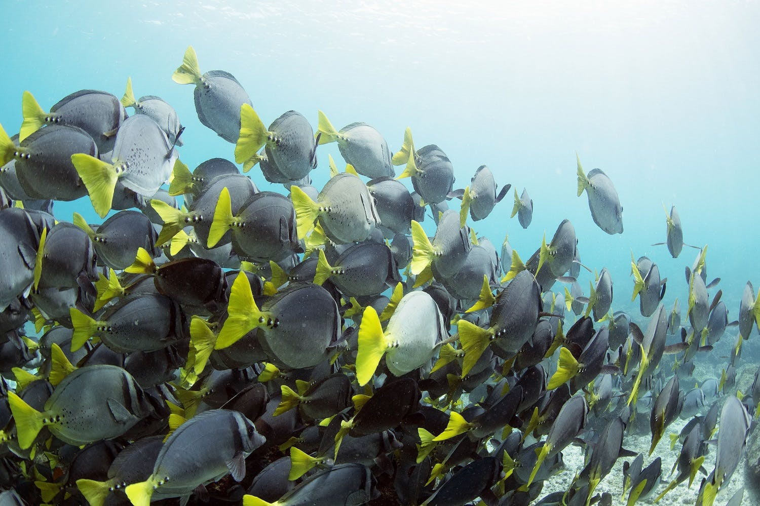 yellowtail surgeonfish in the galapagos