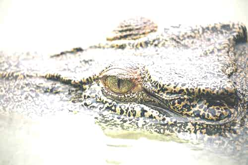 Saltwater crocodiles in the Kimberley's Hunter River