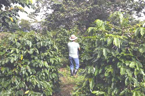 Galapagos coffee farm