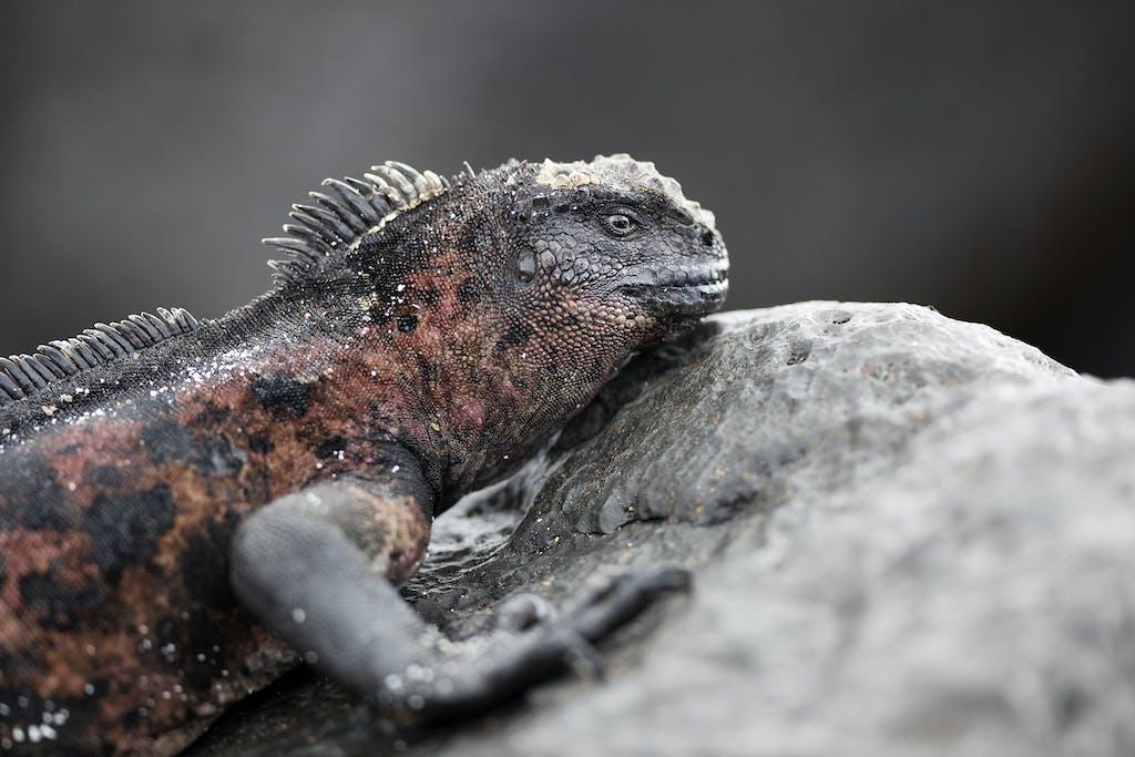 Marine iguana in Gardner Bay, Española Island
