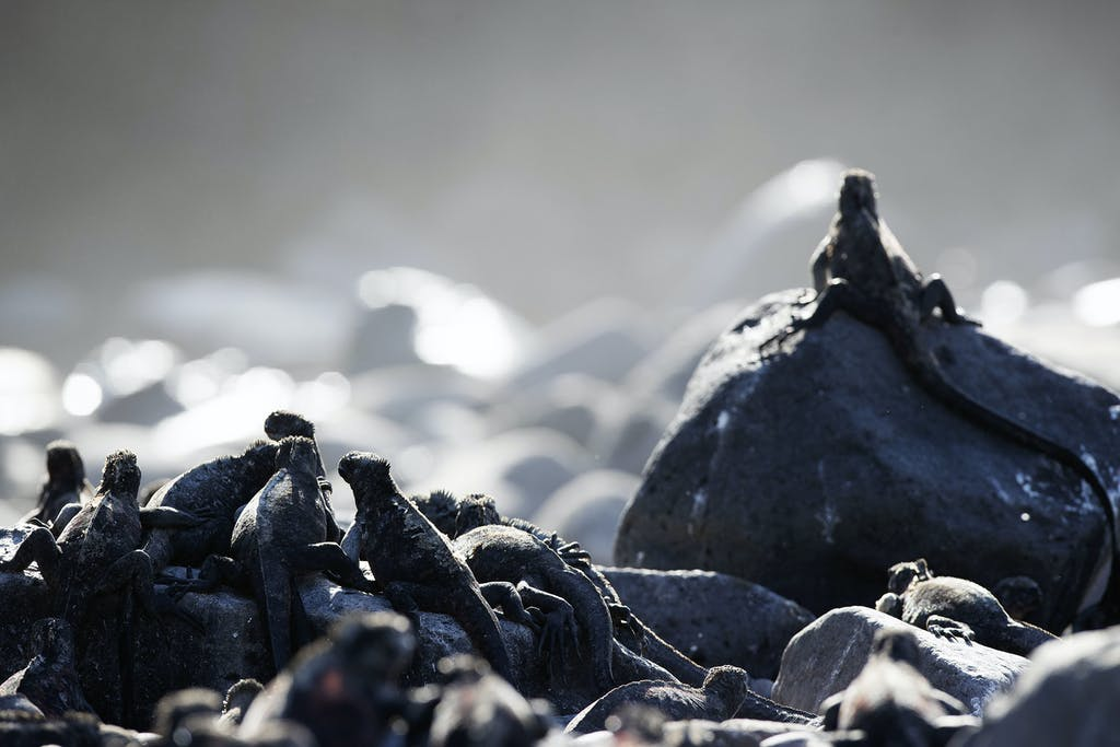 Cluster of marine iguanas in Punta Suarez, Española Island.